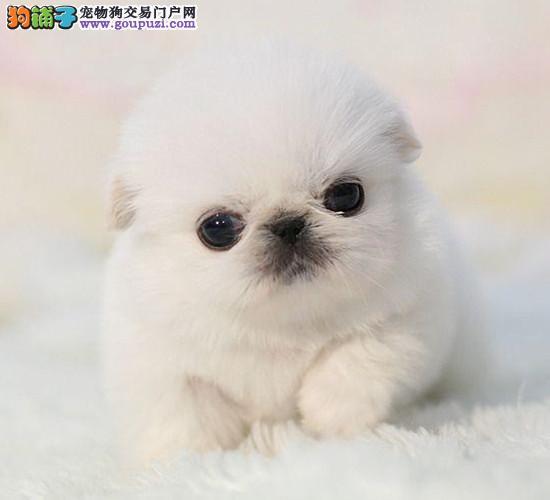 泸州市出售纯种京巴犬宝宝 公母全有 健康保证