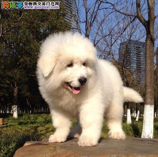 繁殖出售大白熊幼犬价格合理售后保障诚信交易可退换