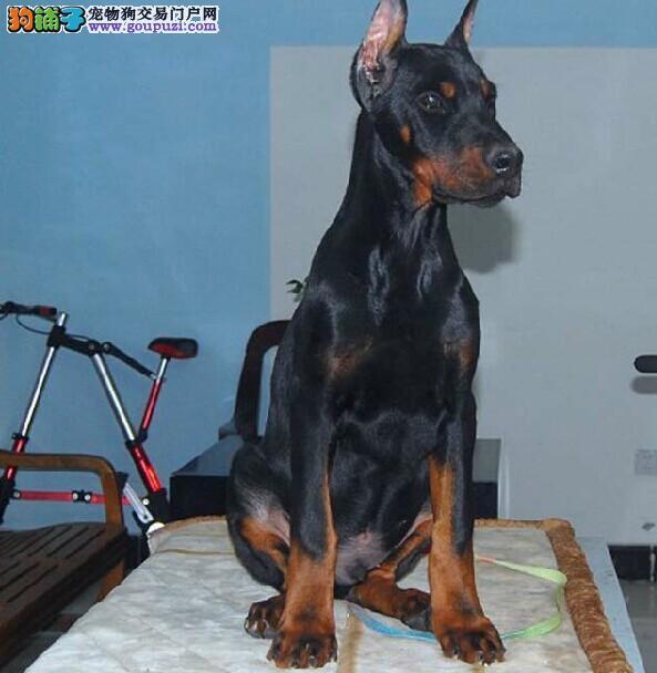 火爆出售血统纯正的济宁杜宾犬多种血统供选购