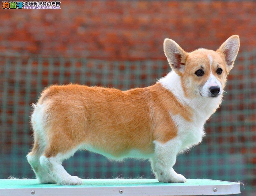 精品威尔士柯基幼犬出售二色三色纯种柯基宝宝赛级