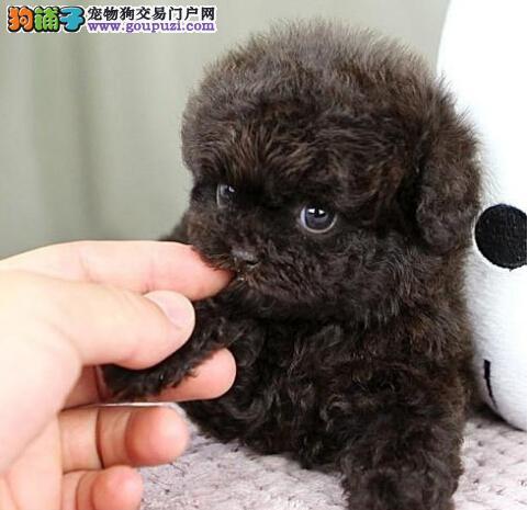 重庆出售优质茶杯犬三年联保 落地免费治疗