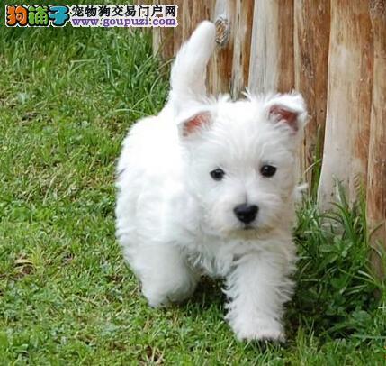 宠物狗狗纯种幼犬西高地出售疫苗齐全健康保障