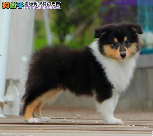 纯种苏格兰牧羊犬幼犬多只待售重庆正规养殖场品质保障