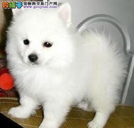 北京售家养银狐 日本尖嘴犬幼犬疫苗驱虫已做可看狗