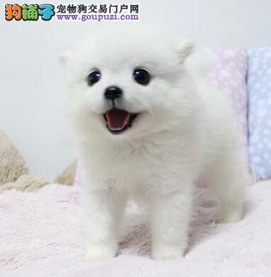北京售家养银狐 日本尖嘴犬幼犬疫苗驱虫已做可看狗2