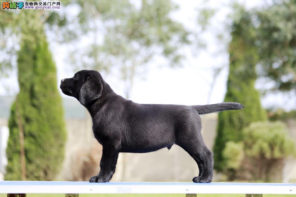 拉布拉多幼犬出售 终身质保 疫苗齐全 完美售后服务