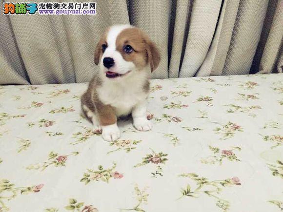 哪里有卖柯基犬广州柯基犬价格多少钱柯基犬怎么卖