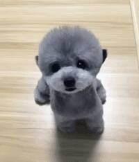 兰州正规犬舍出售茶杯玩具血系的泰迪犬 带血统证书2
