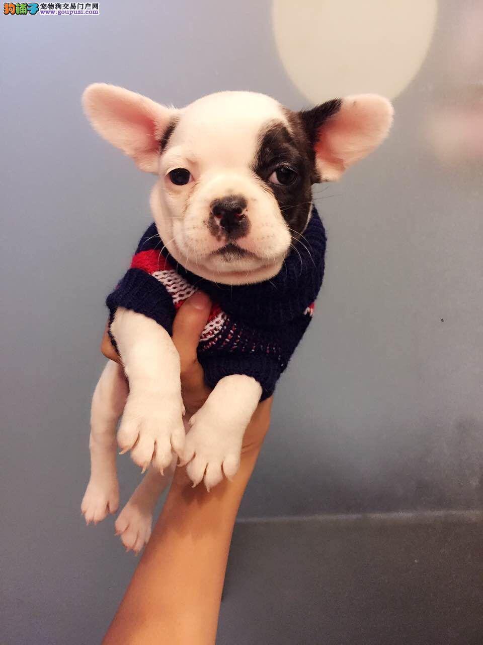 济南出售极品法国斗牛犬幼犬完美品相期待您的光临1