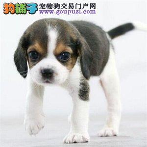 超级猎兔狗狗三色比格幼犬 什么狗狗打兔子厉害