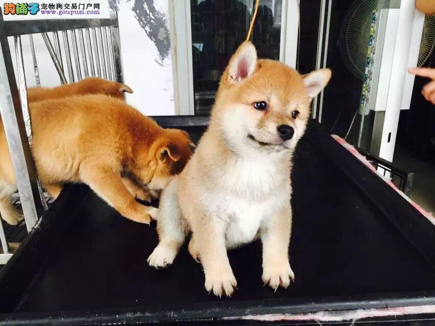 漂亮的柴犬宝宝大量出售