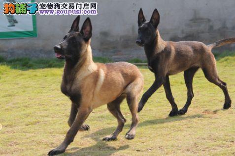广东精品高品质马犬幼犬热卖中专业品质一流