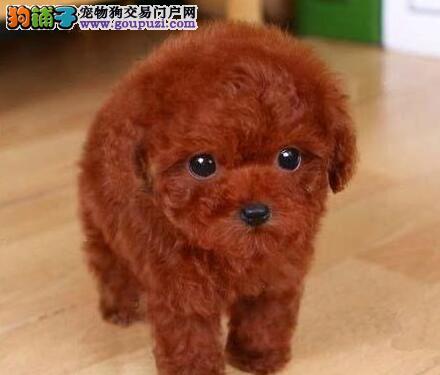 专业正规犬舍热卖优秀的贵宾犬签订协议包细小犬瘟热