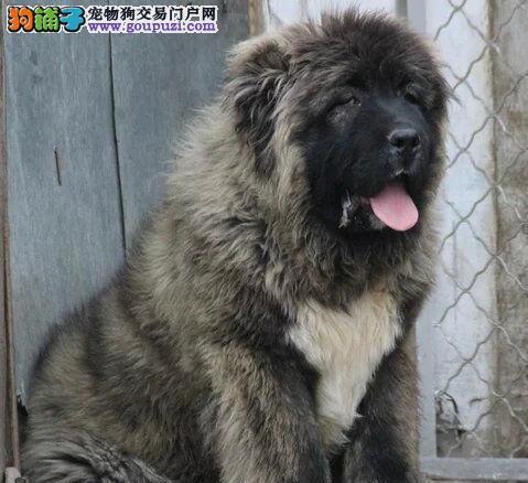 厦门大型狗场直销高品质高加索犬可办理血统证书1