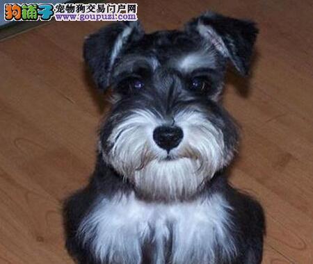 雪纳瑞犬椒盐色跟灰银色的迷你雪纳瑞幼犬聪明老头狗1