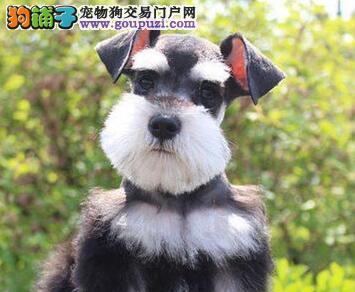 黄石售国内顶级雪瑞纳 老头狗 小雪 CKU认证犬舍
