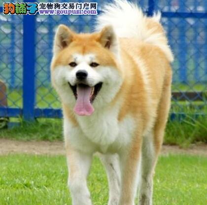 自家转让秋田幼犬 疫苗驱虫已做 包纯种健康