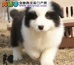 出售健康优秀边境牧羊犬 广州周边城市可上门挑选