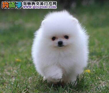 纯种哈多利版广州博美犬特价直销 可赠送狗笼子