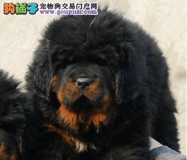 顶级优秀狮王血系广州藏獒促销价转让 已做齐进口疫苗