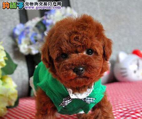 南通狗场直销多种血系的泰迪犬 请大家放心选购
