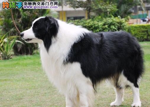 精品赛级边境牧羊犬 CKU认证犬舍 购买保障售后