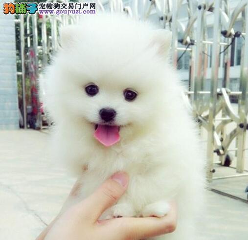 山南地区专业繁殖小体博美俊介幼犬纯种健康协议保障