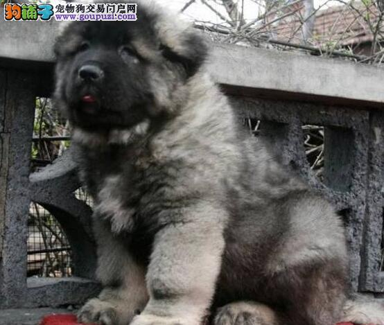 德宏州上门犬业出售高加索/当天全款包邮·送货上门
