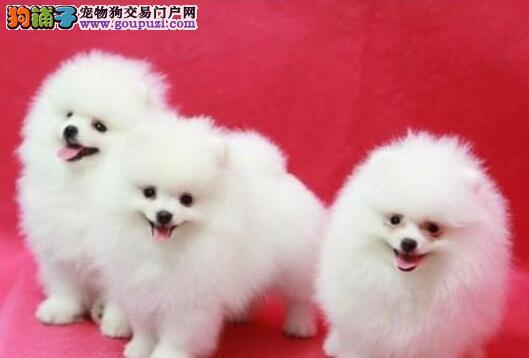 南宁加微信看视频、免费送狗上门博美犬签质保协议