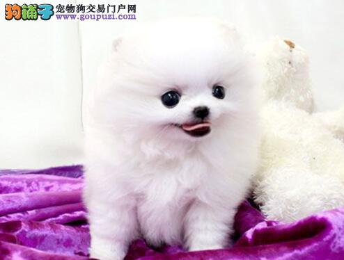 哈多利血系完美品相的温州博美犬热卖中 公母均有