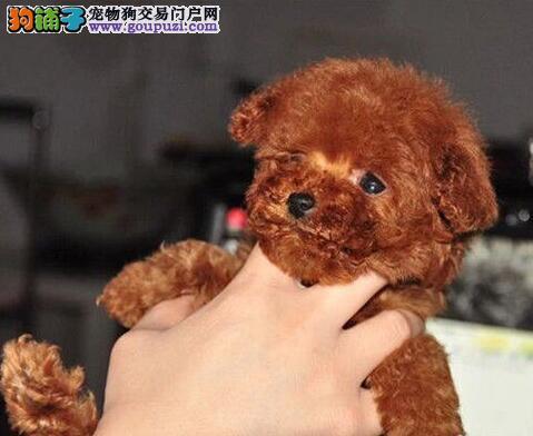 德阳迷人的小贵宾幼犬转让 多只可选品相极佳