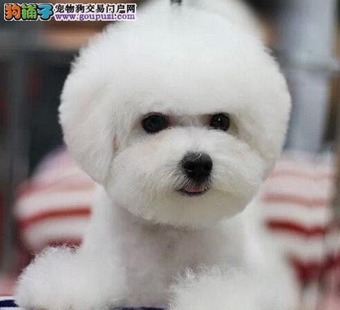 北京出售纯种法国比熊犬卷毛棉毛糖冰雪聪明包纯包健康