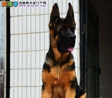 上海狗场直销纯种锤系德国牧羊犬幼犬 看家护卫警犬