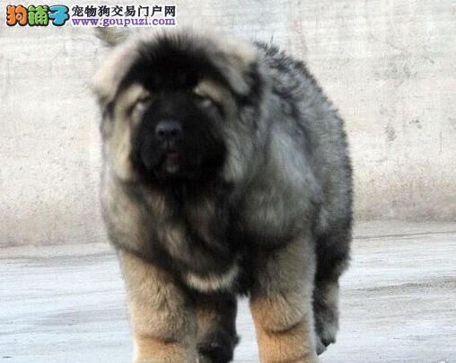 熊版狼青色的温州高加索犬找新家 签订合法协议书