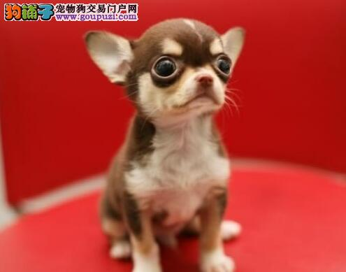 石家庄专业吉娃娃狗场微信看狗 随时可送货上门玩具犬