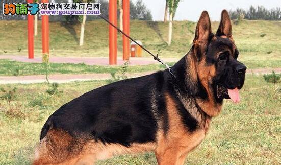 出售纯种德国牧羊犬 可训练警卫犬 搜救犬