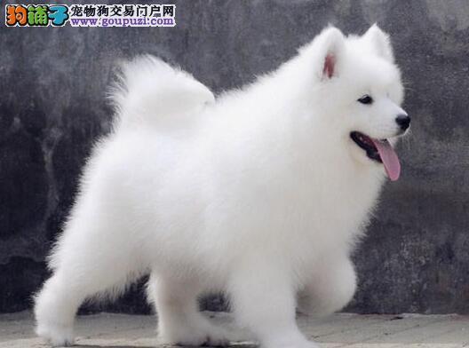 脾气好很忠诚的萨摩犬武汉出售 品质保证 健康保证