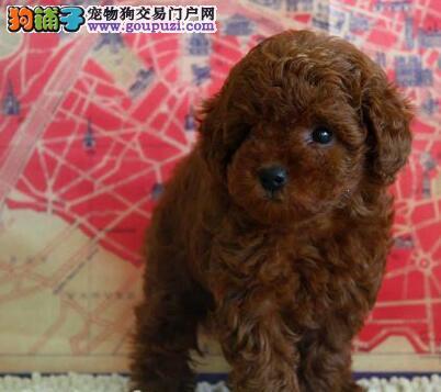 赛级品相琼山贵宾犬幼犬低价出售琼山周边免费送货