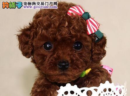 广州出售泰迪熊贵宾犬价格纯种贵宾犬多少钱贵宾犬图片