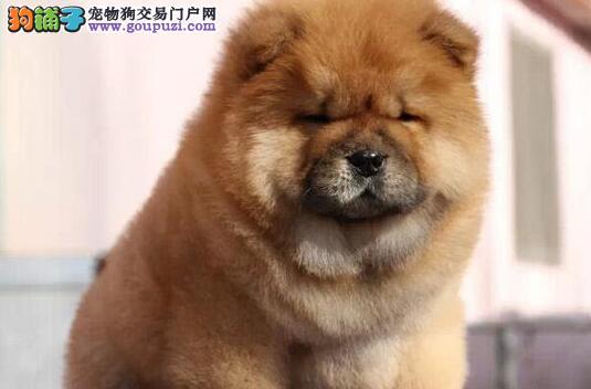 憨厚可爱的松狮犬特价优惠直销 温州市内免费送货上门