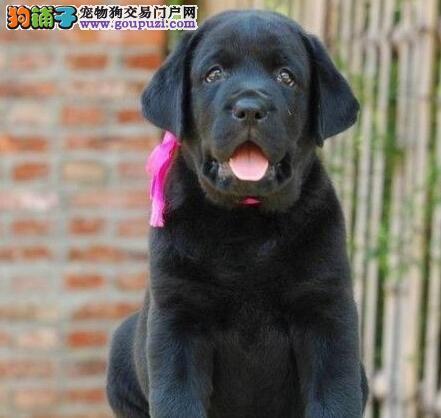 温州知名犬舍超低价直销拉布拉多犬 品相好高品质