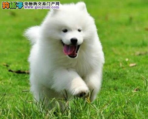 郑州售纯种萨摩 萨摩耶幼犬 微笑天使母狗幼犬