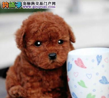 成都出售标准体型泰迪犬幼犬 各颜色都有可上门看