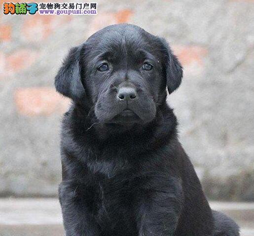 基地直销高品质西安拉布拉多犬保养活保健康