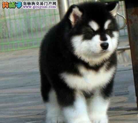 低价转让西安阿拉斯加雪橇犬大毛量巨型熊版