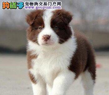 郑州售纯种边境牧羊犬边牧幼犬疫苗驱虫已做可包邮