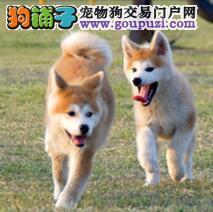 北京繁殖家养秋田幼犬三包保证健康+纯种+售后签协