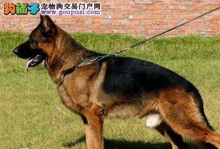 南宁市出售德国牧羊犬 全国包邮 包纯种健康 多窝可选