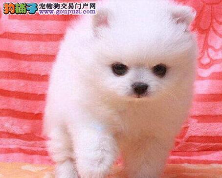 纯种哈多利版长沙博美犬特价出售 可赠送狗笼子和赠品