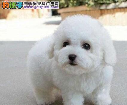 精品卷毛博美犬特价出售 建议北京地区上门挑选购买